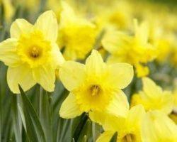 """Il narciso, un """"mito"""" di fiore, martedì 12 marzo, ore 11.05"""