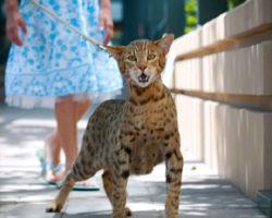 Il gatto Ashera, martedì 11 giugno, ore 11.05